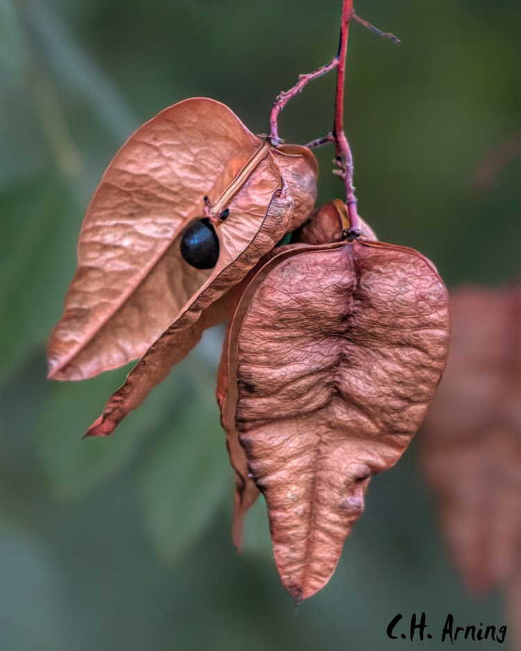tree seed pods