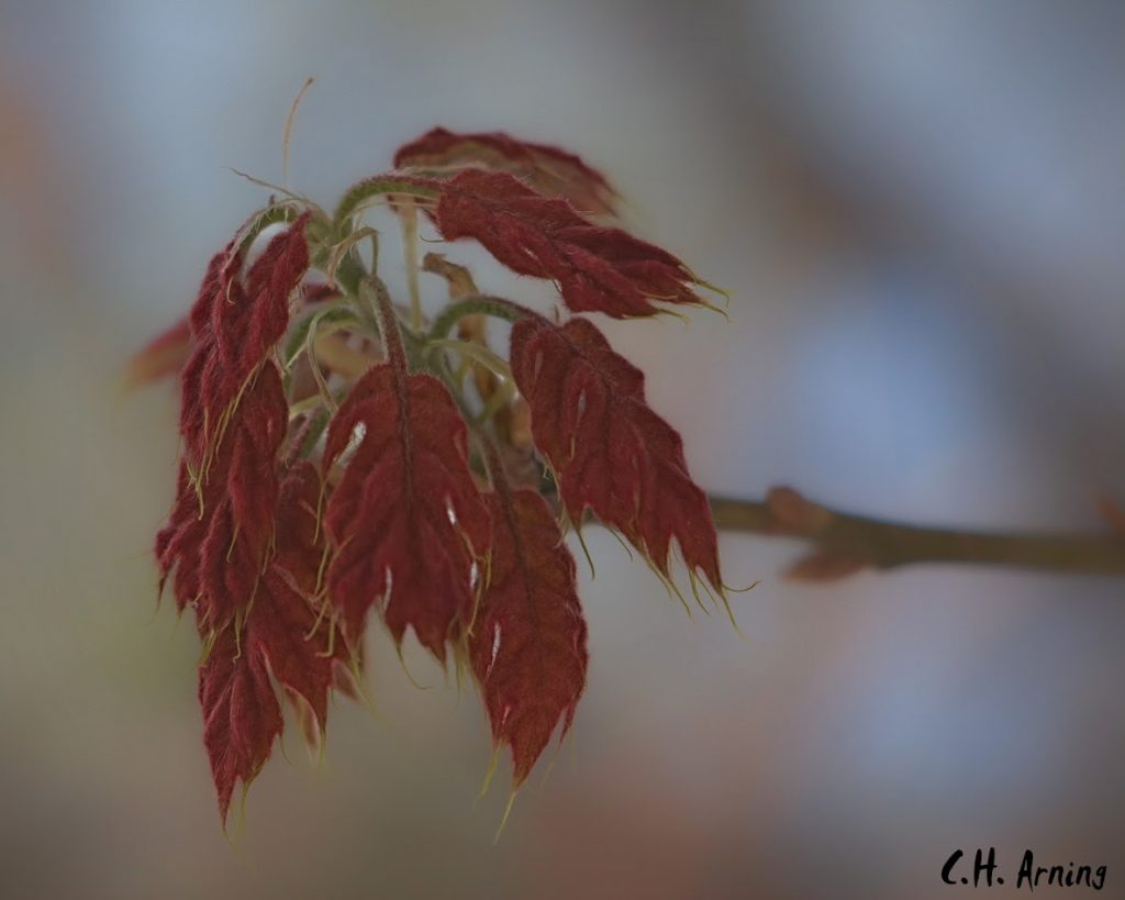 Red Leaves in Spring