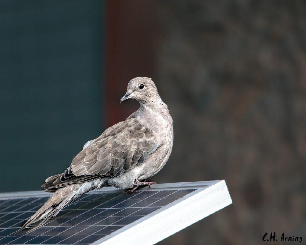 Solar Dove