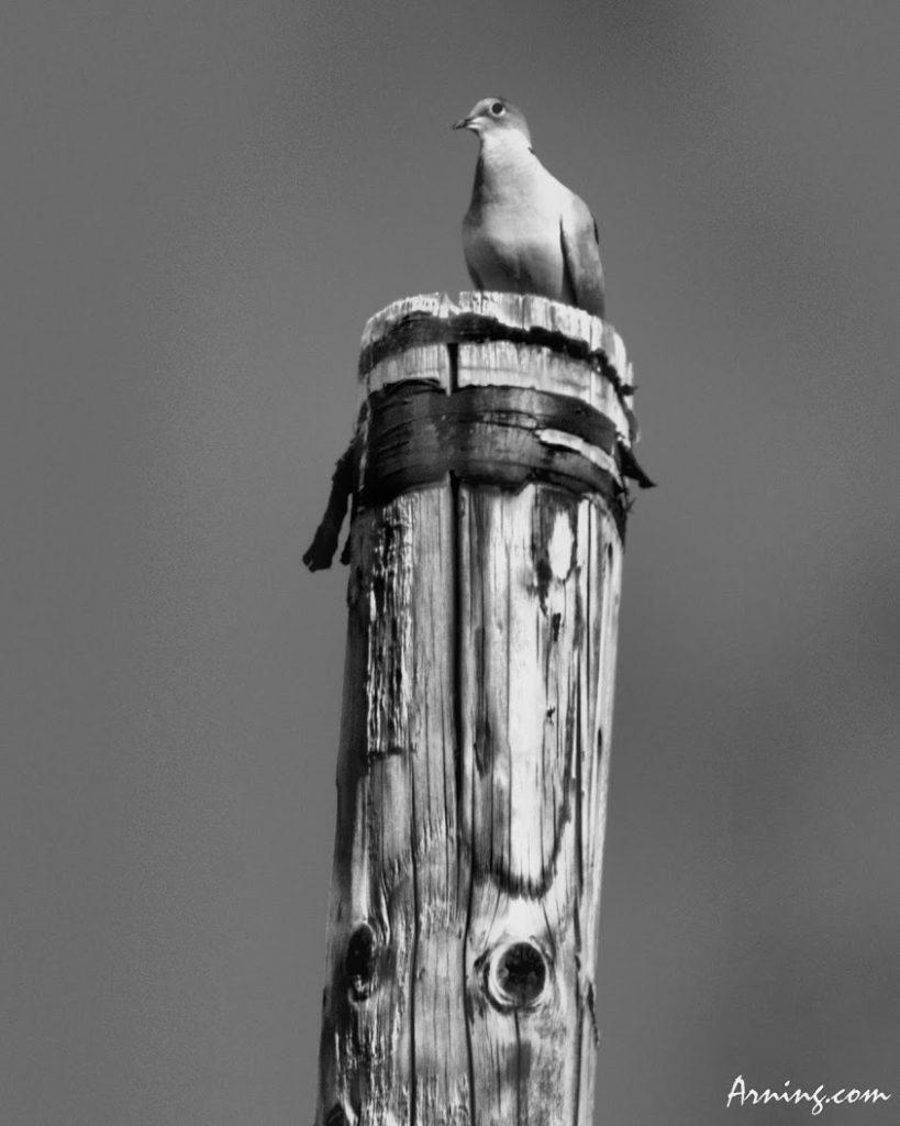 Dove on a pole