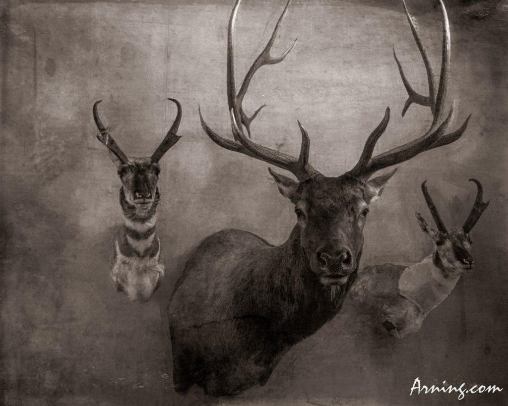 elk head