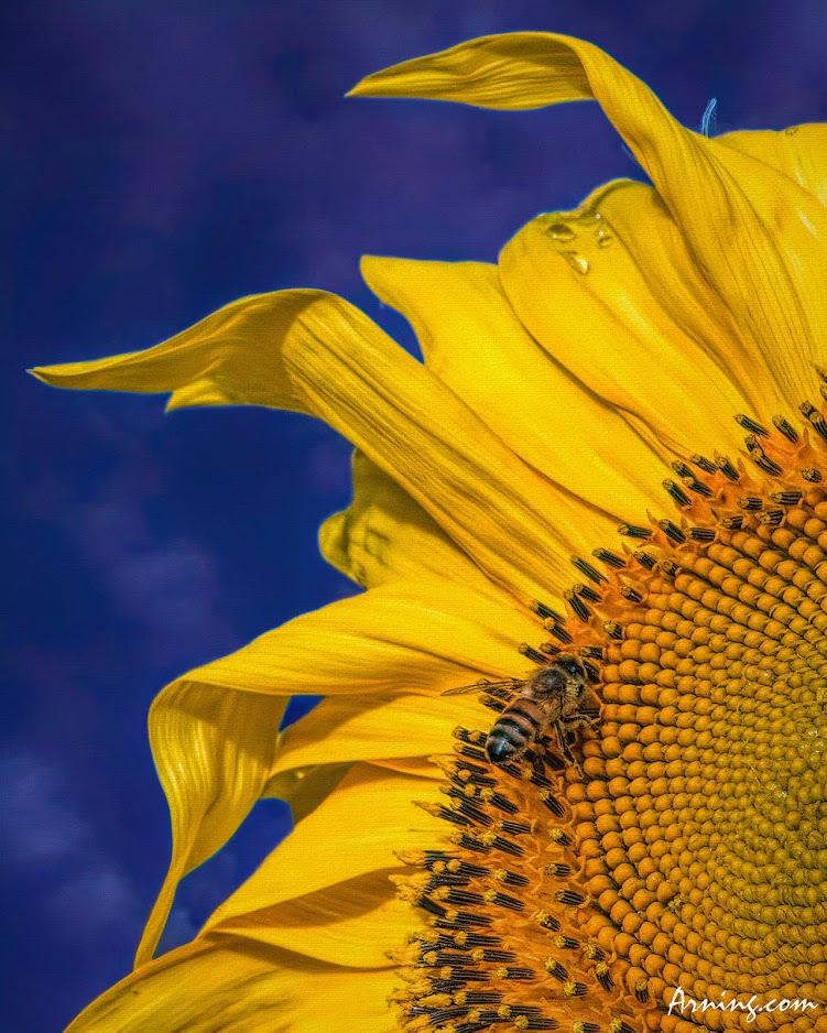 Pacino sunflower