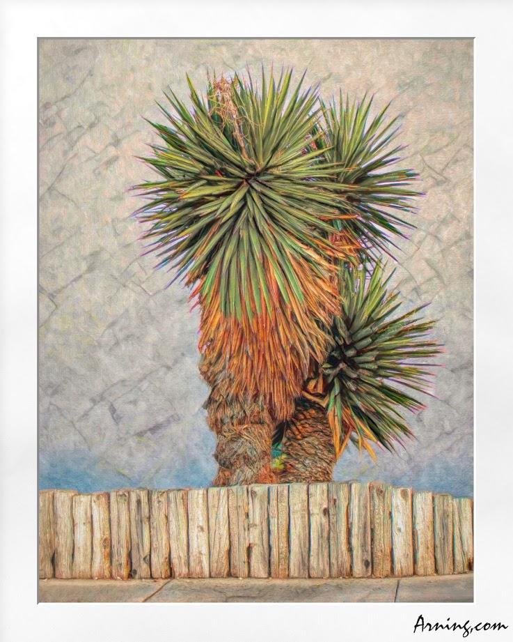 Los Altos Yucca