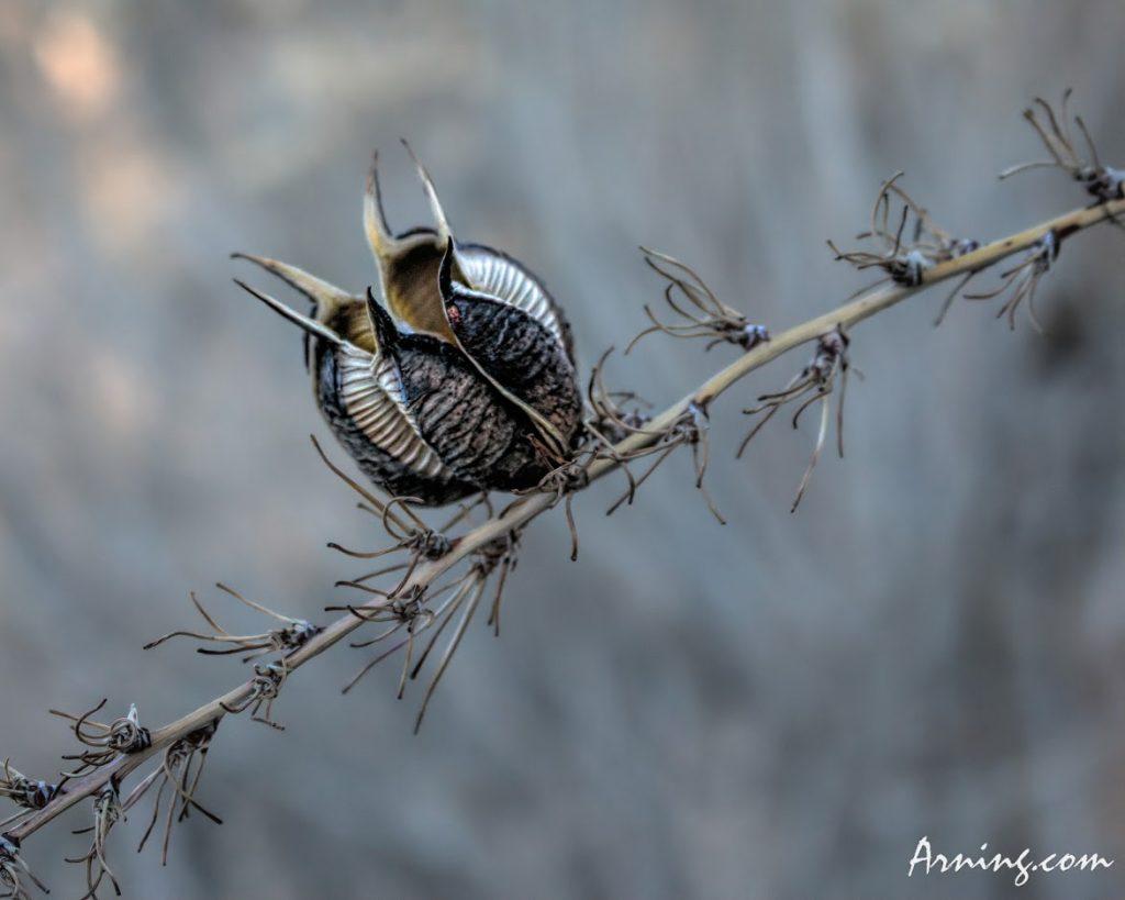 Yucca Seed Pod