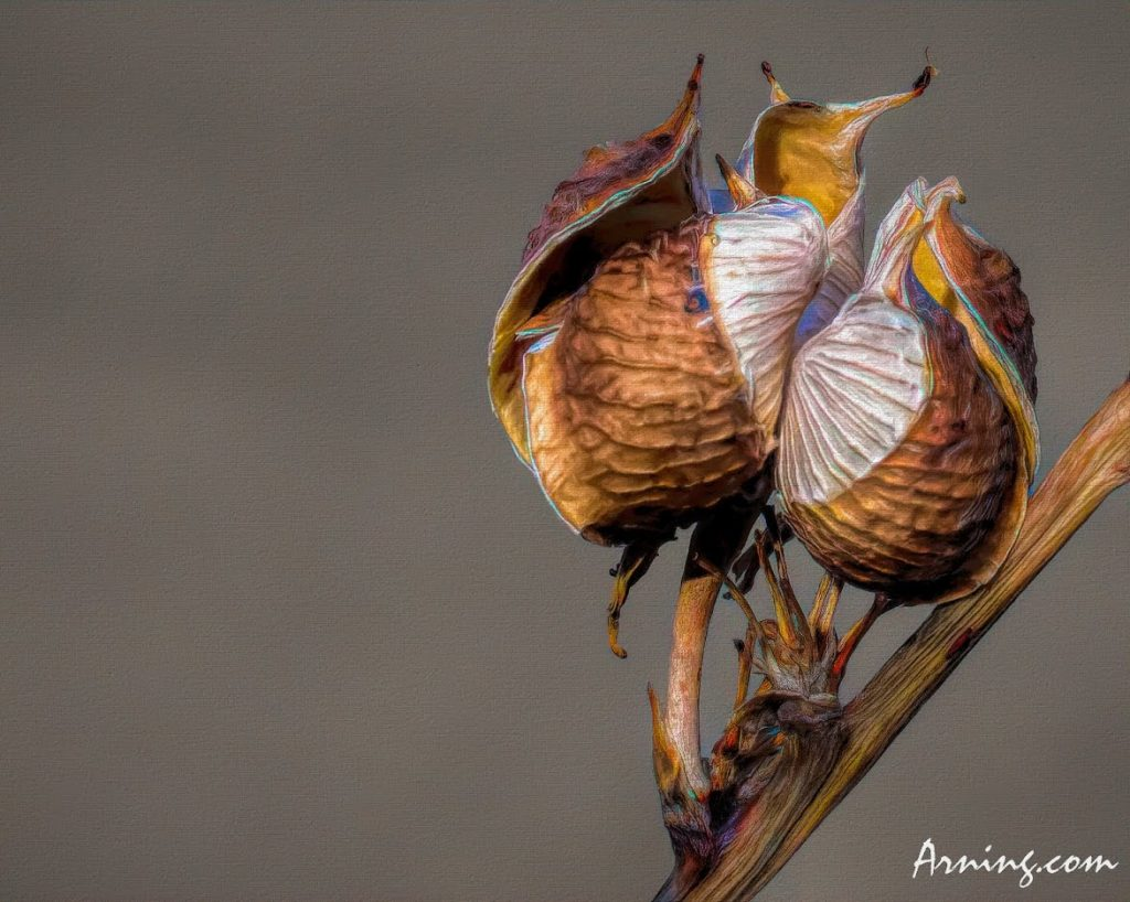 Another Yucca Pod