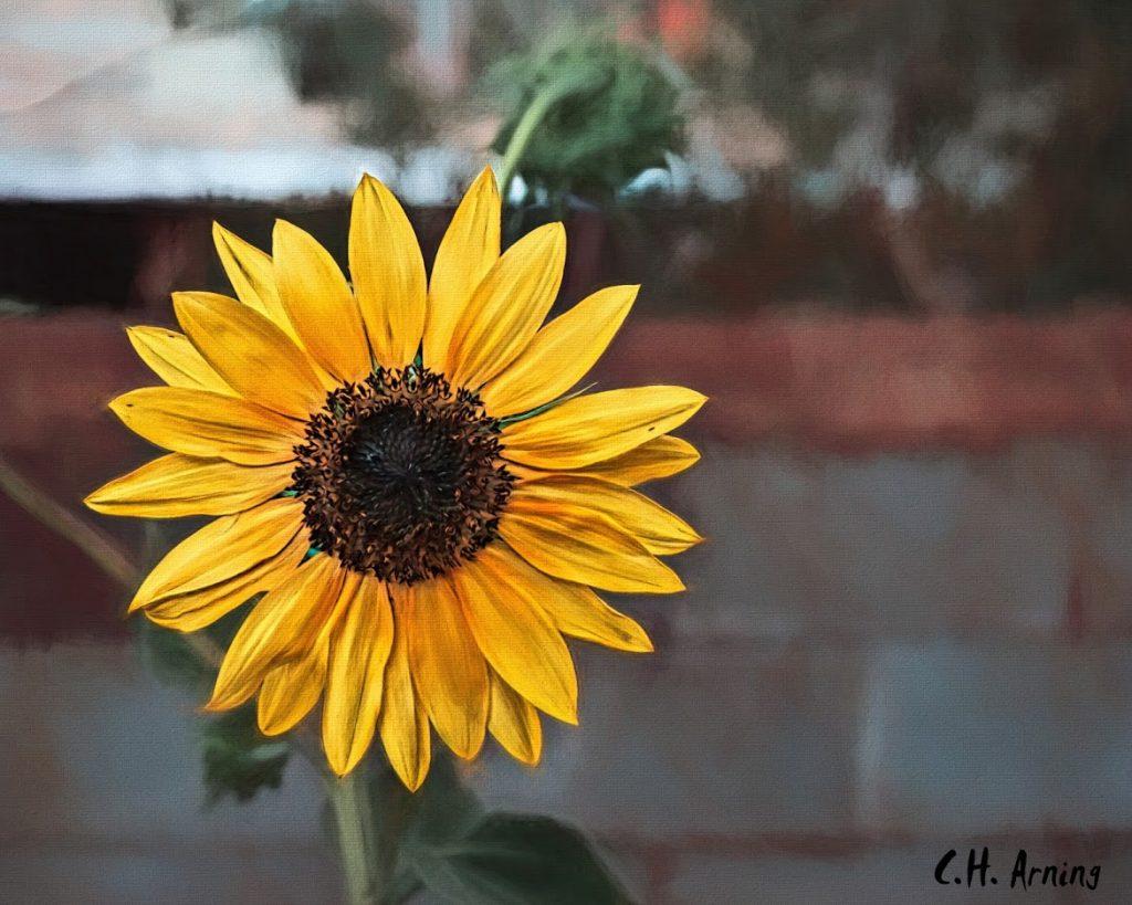 Wife's Sunflower