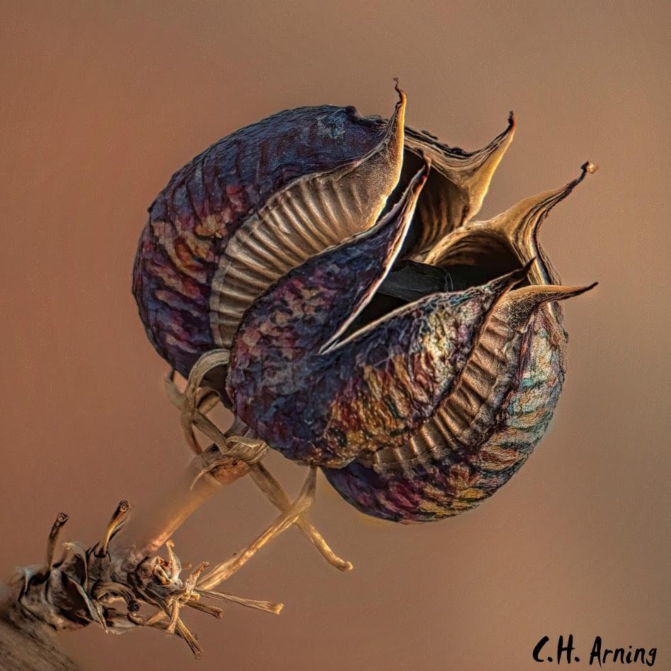 Red Hesperaloe Seedpod