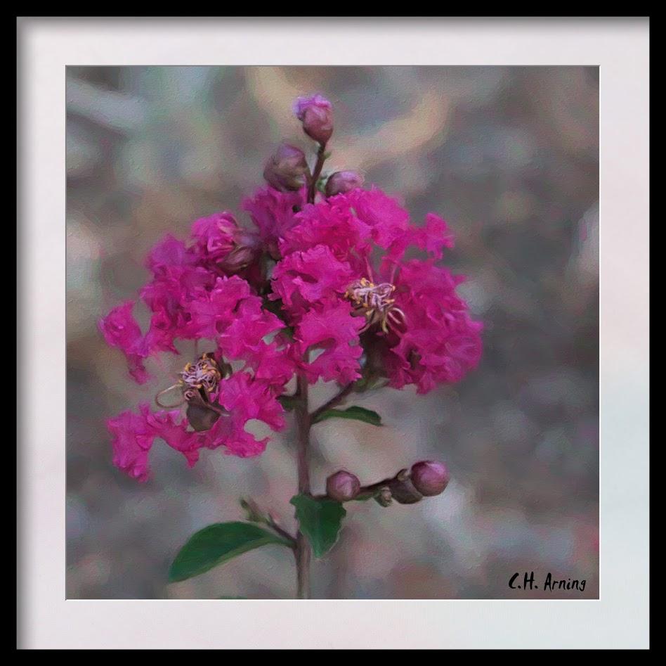 fuchsia blossom