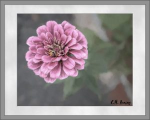 fall-flowering