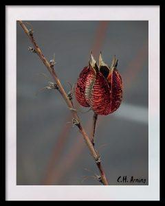 Red Hesperaloe Seed Pod