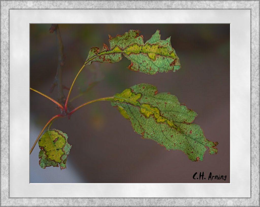 chlorophyll breaking down