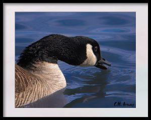 thirsty goose