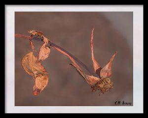 bygone rose