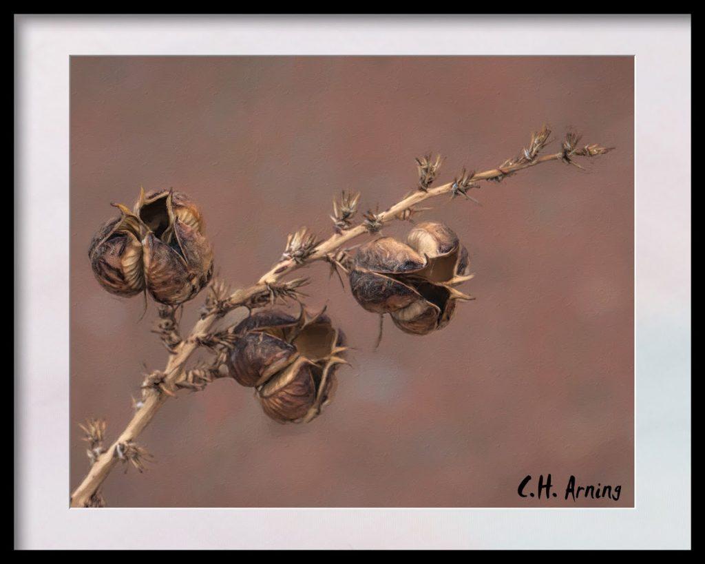 Yucca Pods