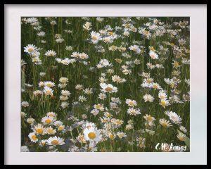 yard of daisies
