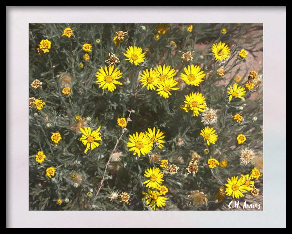 bush daisies
