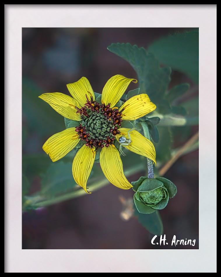 sunflower plus one