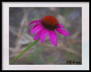 Evening Flower