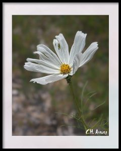 Aster and Ants